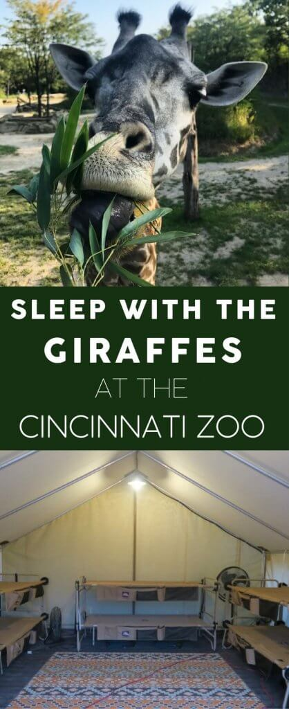 The Twiga Overnight at the Cincinnati Zoo is a great opportunity for families and groups. Sleep by the Giraffe Ridge enclosure, get special behind-the-scenes looks at the zoo after hours, enjoy private meet and greets with animal ambassadors, as well as smores and a catered breakfast. Read about our experience. We can't recommend it enough!