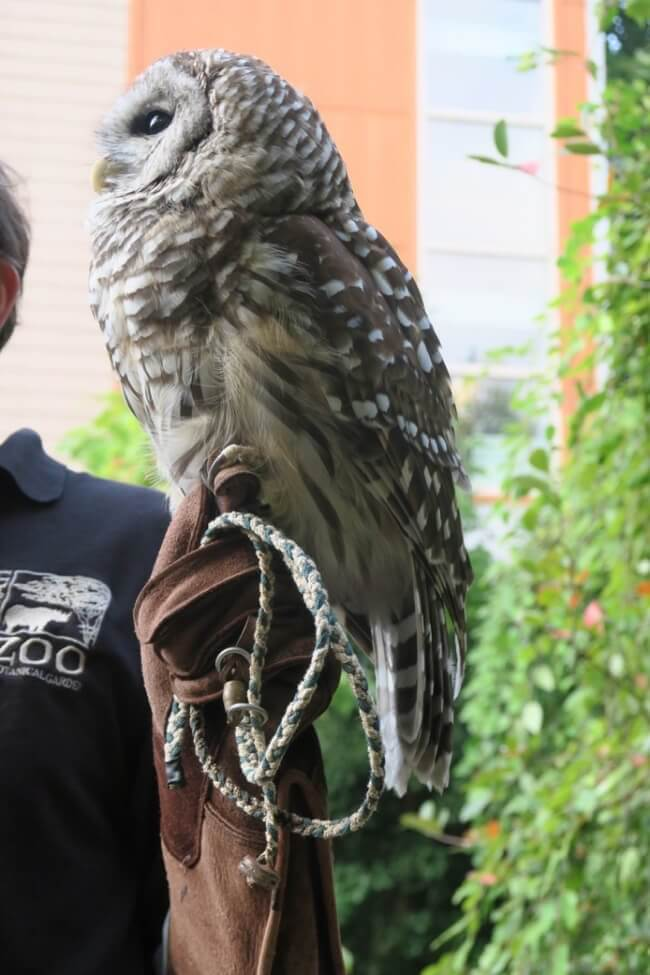 Cincinnati Zoo's barred owl, Homer