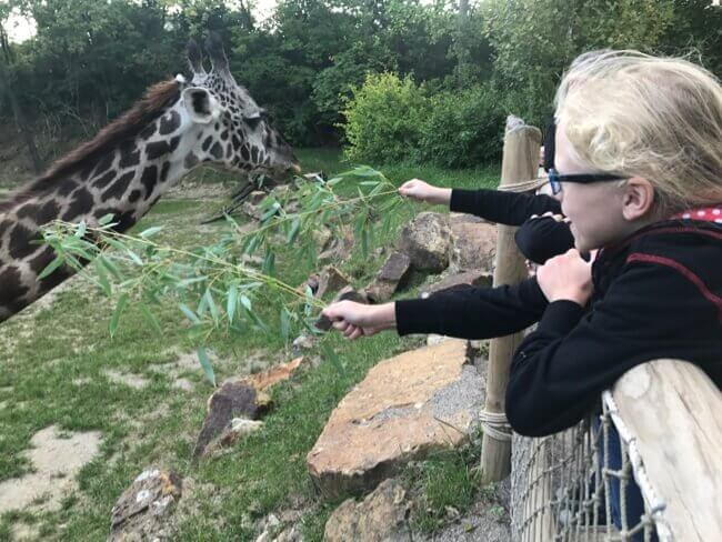 Three children feeding sprigs to a giraffe during the Twiga overnight at the Cincinnati Zoo